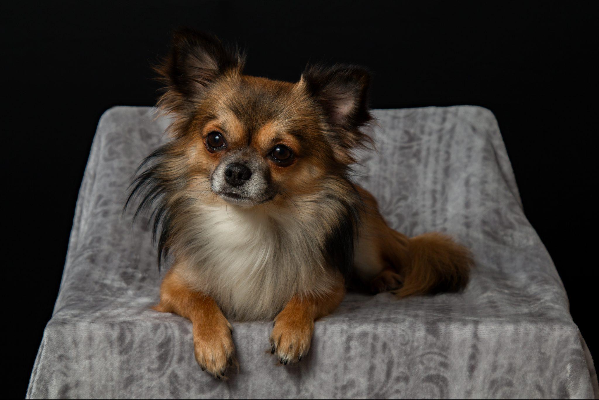 健常犬と僧帽弁閉鎖不全症の犬でのエコーによる左心房機能評価