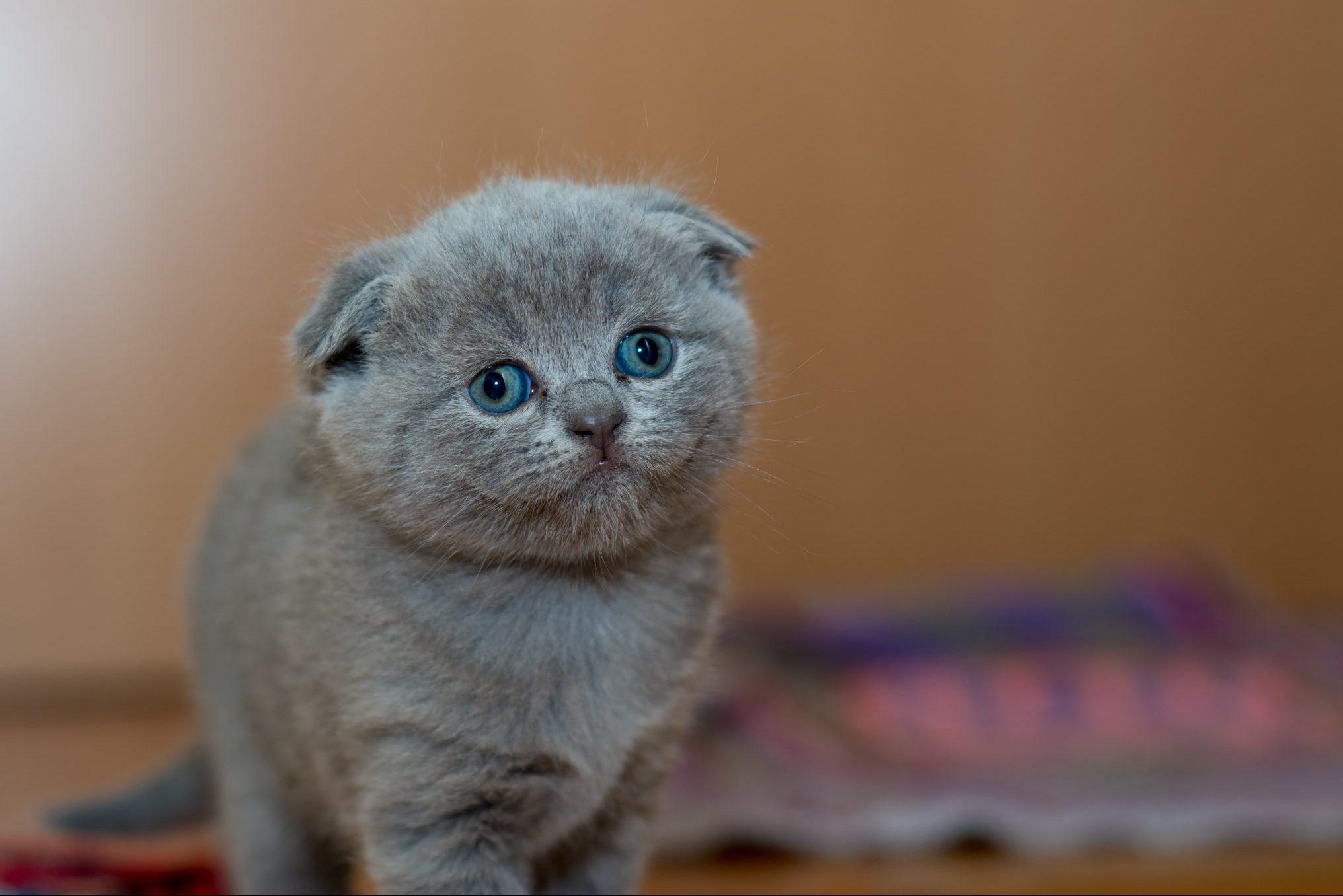 短頭種の猫では歯の異常が多い!:ペルシャ猫とエキゾチックショートヘアの調査