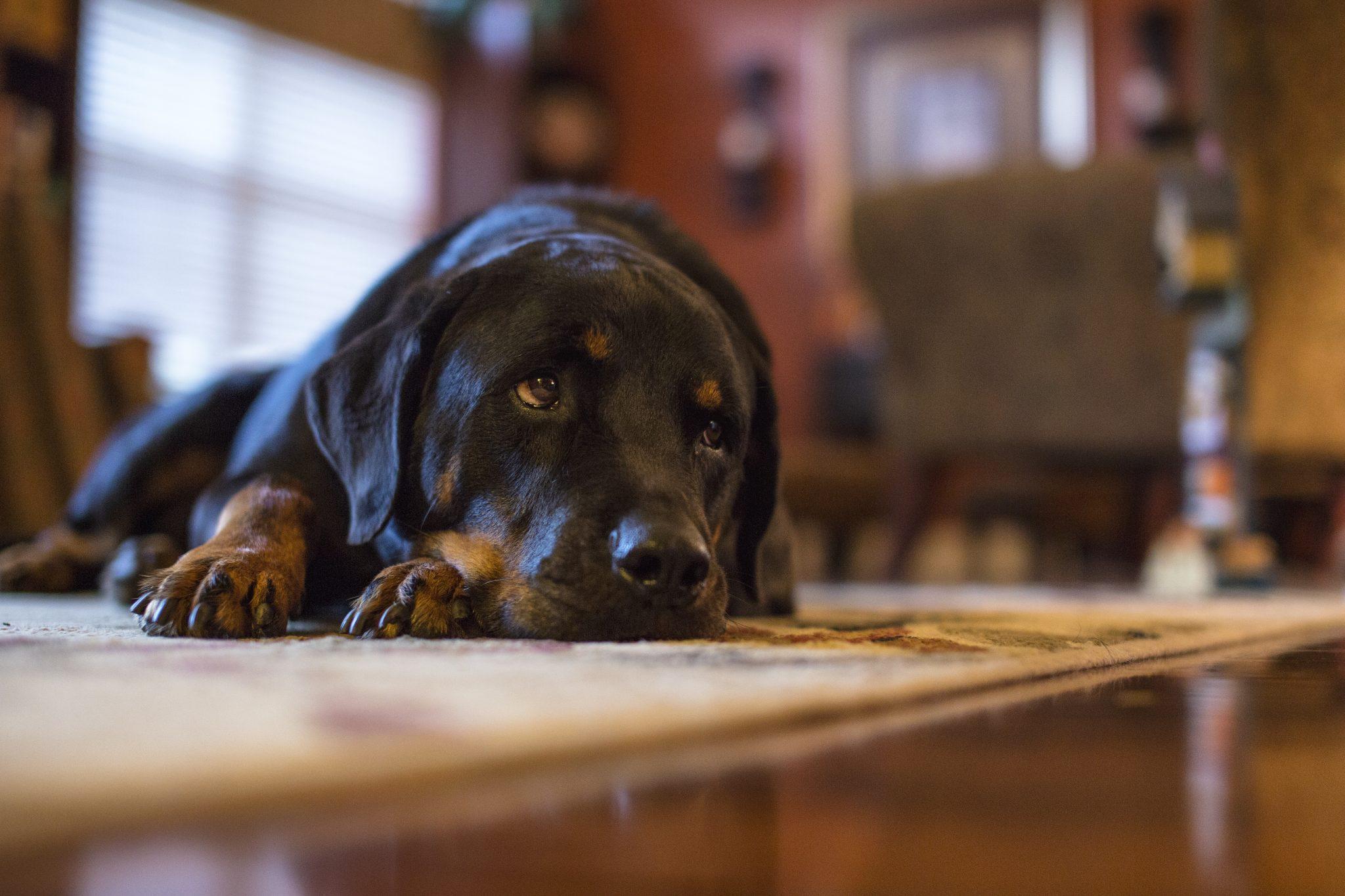 慢性腎臓病の犬の腎盂腎炎は意外と多い?:182頭のレトロ解析結果