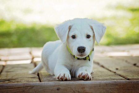 僧帽弁閉鎖不全症の犬の治療強化の目安としてNT-proBNPが有用?