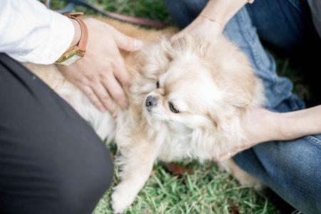 僧帽弁閉鎖不全症の犬はステージCで乳酸値が上昇する?