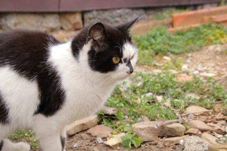 再発、難治性のリンパ腫の猫に対してMOPP療法は有効?