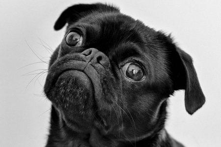 眼瞼炎の犬の約半数がアレルギー性皮膚疾患?