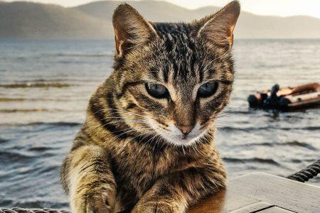 慢性腎臓病の猫へのカリウム投与:クエン酸カリウムとグルコン酸カリウム