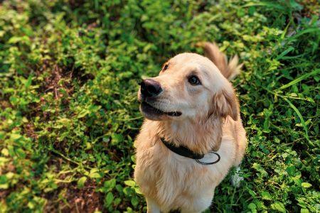 犬のリンパ腫の予後比較:L-CHOP vs MOPP