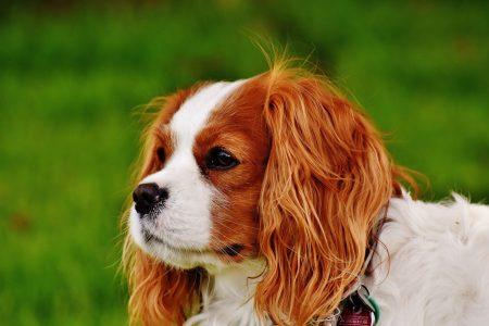 キャバリアは他犬種よりも僧帽弁閉鎖不全症から肺高血圧症を合併しやすい?