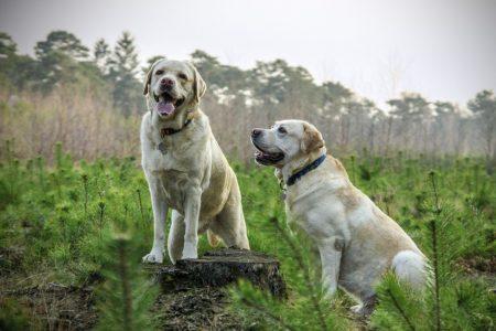 犬のリンパ腫のCHOP療法:12週と19週、どちらのプロトコールが予後が良いか?