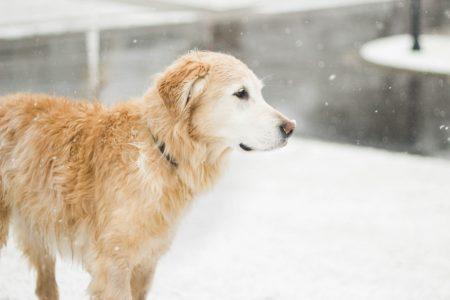 犬の脾臓血管肉腫、脾摘後に化学療法をやるメリットはあるのか?