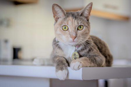 うっ血性心不全の猫は体重、BCSよりも筋肉量が重要!?