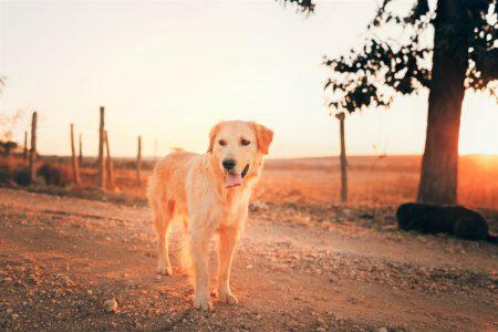 再発性多中心性リンパ腫の犬にラバクフォサジンが有効?