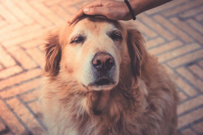 骨肉腫の犬にオーラノフィンを組み合わせると雄犬の生存期間が大幅に改善する?