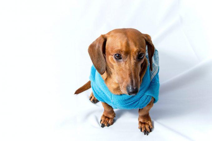 椎間板ヘルニアの犬におけるプレガバリンの鎮痛効果について
