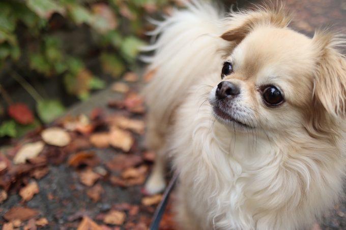 ついに出た!僧帽弁閉鎖不全症の犬への効果:フロセミド vs トラセミド